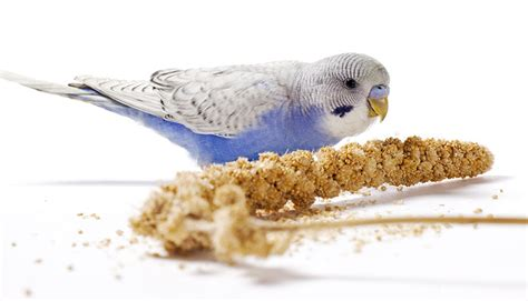budgie millet budgie food budgie guide guide omlet uk