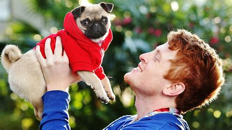 poncho the pug poncho the sydney pug finds fame after marketing by savvy owners herald sun