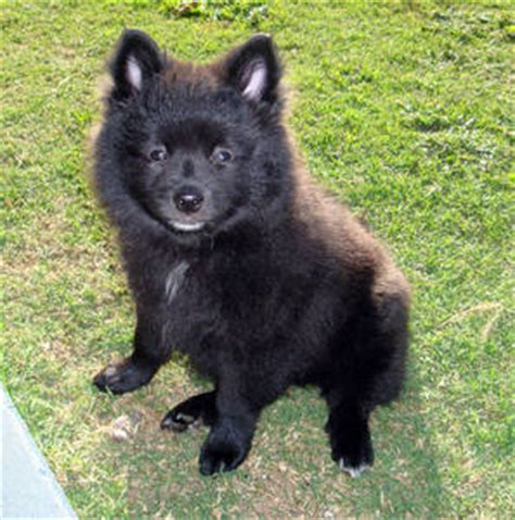 german spitz puppies for sale german spitz puppies for sale australia free classifieds muamat
