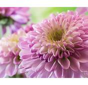 Flower Purple Dahlia Photos With High Qualit Hd Desktop