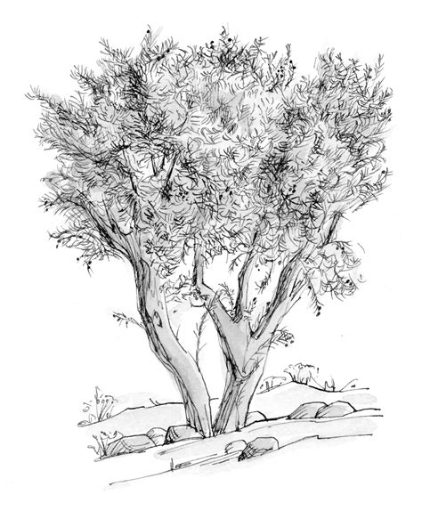 coloring page of olive tree luke 22 39 illustration olive tree saint mary s press