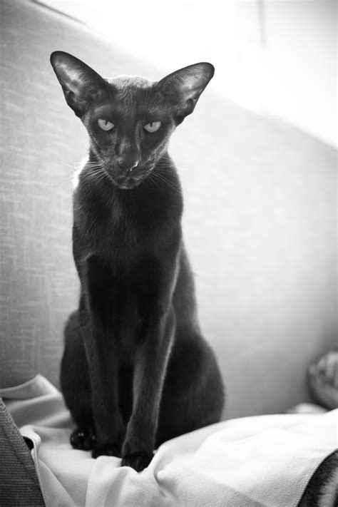 shorthair cat 32 best images about shorthair cats on
