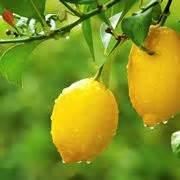 limone potatura vaso potare il limone frutteto come potare limone