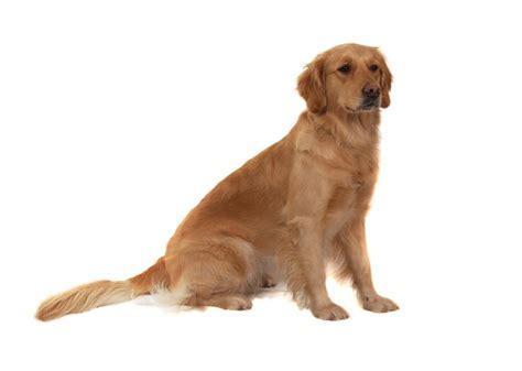just breeds golden retriever golden retriever2 jpg golden retriever breeds