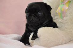 black pug puppies for sale in pa black pugs for sale on baby pugs for sale pugs for sale and jug puppies
