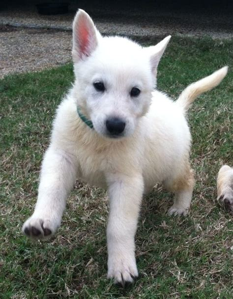 white german shepard puppy adorable white german shepherd puppy