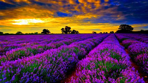 top travel destinations lavender fields in provence france