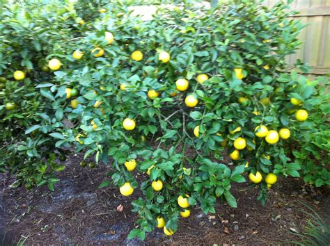 plant fruit tree plant a fruit tree 100 things to do in jacksonville