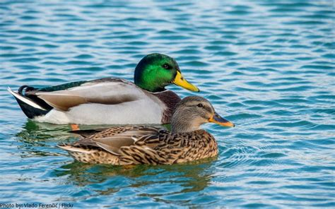 interesting facts about ducks just fun facts
