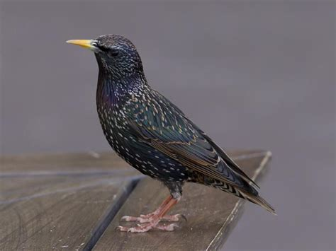 do you have starlings in your attic effective wildlife