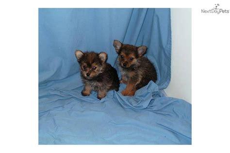 yorkies for sale in nebraska yorkie puppies for sale in nebraska breeds picture breeds picture
