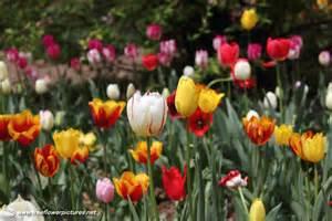 Tulip Flower Garden Picture Of Tulip Garden Flower Pictures 94