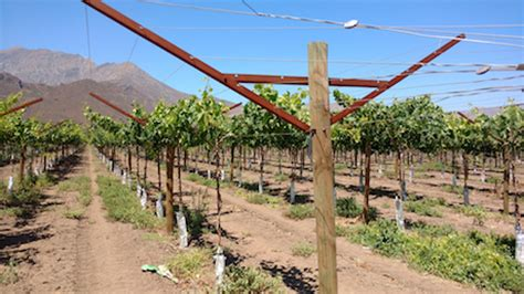 table grape trellis systems table grape trellis that helps reduce workforce