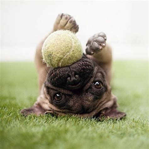 what do pugs like to play with 19 reasons pugs are actually the worst dogs to live with