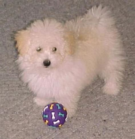 maltese poodle puppies for sale maltese poodle breeds picture