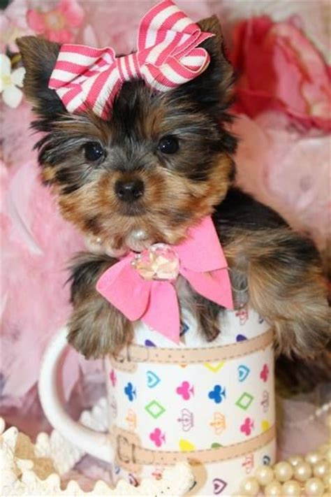 teacup yorkie florida teacup yorkie puppy for sale in florida t cup yorkies for sale in florida