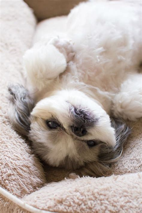 shih tzu not feeling well 20 things all shih tzu owners must never forget the last one brought me to tears