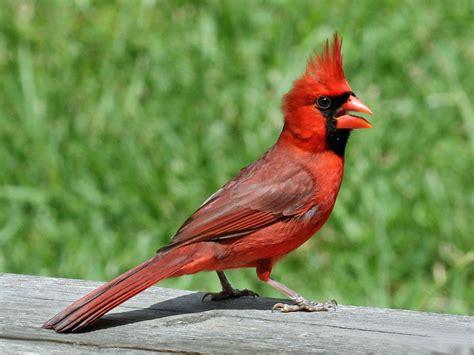 file northern cardinal male rwd2 jpg wikimedia commons