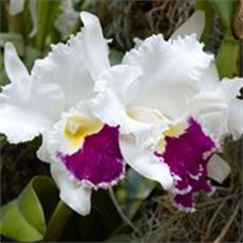 orchidea nera fiore significato orchidea significato fiori orchidea
