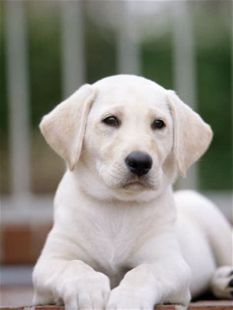 constipated puppy 4 weeks silver labrador retriever puppies 8 weeks in adel for breeds picture