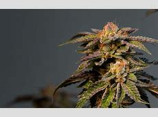 LA Confidential Cannabis Strain Information - Leafly Leafly App