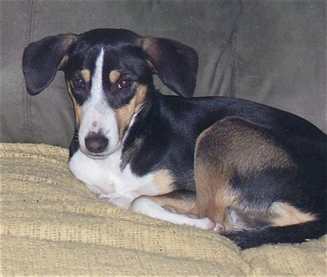 beagle terrier mix puppy fox beagle beagle fox terrier mix info temperament pictures