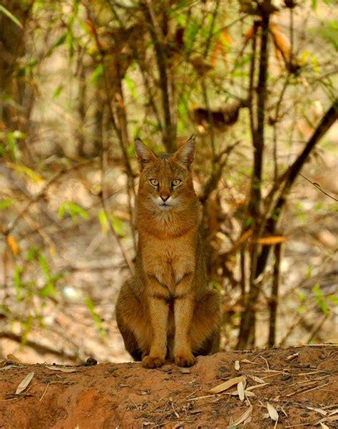 Inidia Cat 27 animal photographs at bandhavgarh wildlife of india