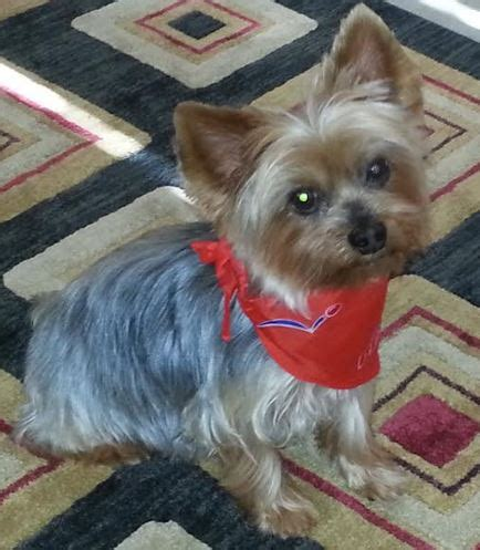yorkie puppies for adoption in louisiana adopted delightful diesel sweet senior terrier new orleans louisiana
