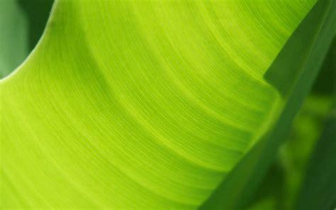 banana tree wallpaper download banana tree leaf wallpapers 1920x1200 1030322