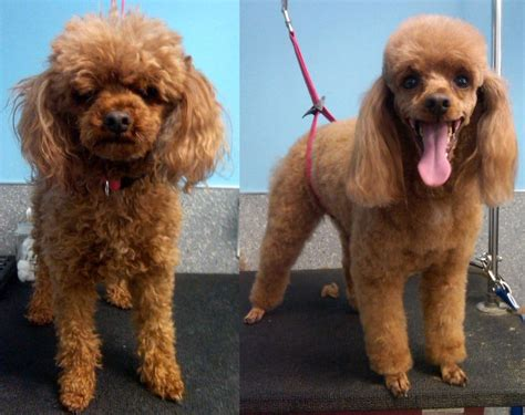 toy poodle haircuts pictures archie the toy poodle before and after haircut and photo