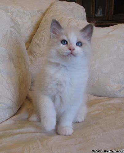 ragdoll kitten price ragdoll kittens price 700 00 for sale in laguna