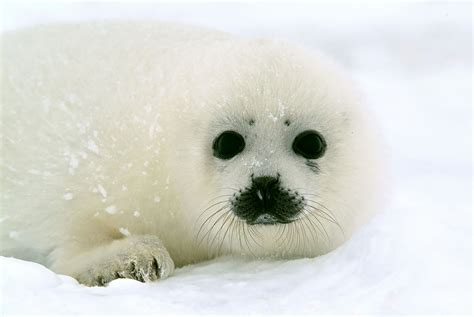 Seal Sharp 1 baby harp seals will no longer be killed for their fur