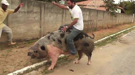 Maior Porco E Um Maior Tombo