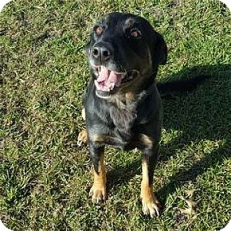 wisconsin rottweiler rescue janesville wi labrador retriever rottweiler mix meet kiva a for adoption