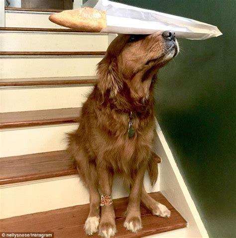golden retriever items golden retriever has instagram page showcasing amazing balancing skills daily