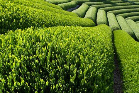 Teh Hijau Dan Manfaatnya jenis jenis teh dan manfaatnya