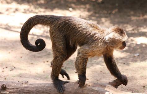 monkey and monkey hair wiki