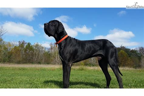 great dane puppies near me great dane puppy for sale near indianapolis indiana 9a60d2e4