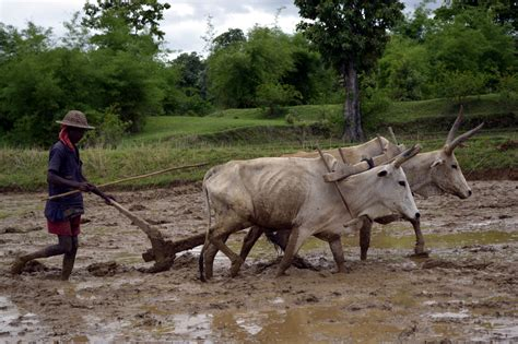 File Ploughing A Paddy Field With Oxen Umaria District
