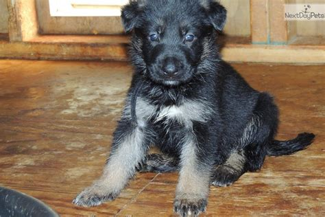 puppies for sale in owensboro ky black collar german shepherd puppy for sale near owensboro kentucky 4d13c314 11f1