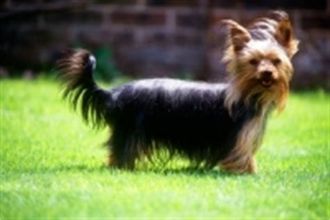 yorkie puppies tails yorkie without docked breeds picture