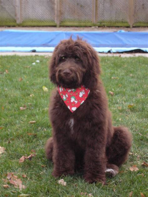 goldendoodle puppy fur goldendoodle and labradoodle fur types and colors