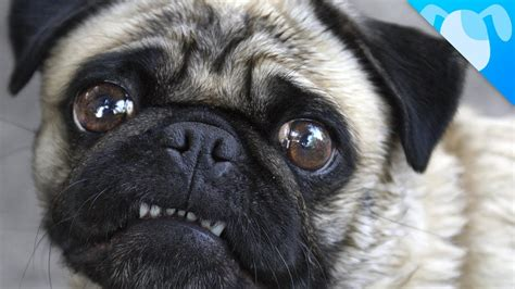 pug temperament stubborn look what we just discovered about pugs pawbuzz