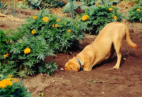 why do dogs dig in the couch why do dogs bury things pets world