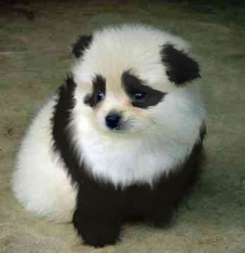 panda puppy if you were a what breed would you want to be girlsaskguys