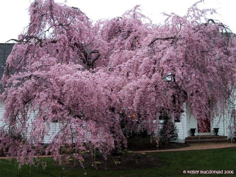 plantfiles pictures weeping cherry tree weeping higan cherry pendula prunus subhirtella by