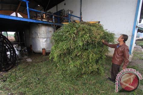 Minyak Kayu Putih Per Dus pengolahan minyak kayu putih foto antara news