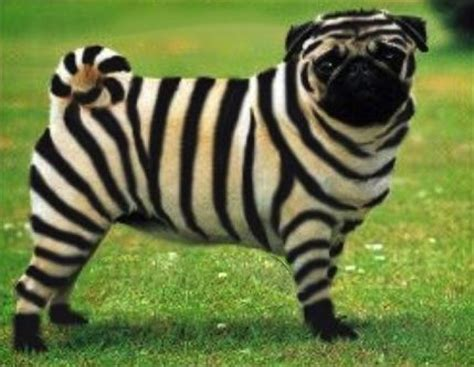 how much is a pug puppy in australia with stripes breeds picture