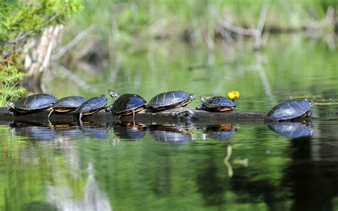 do turtles need heat ls painted turtle michael despines photography