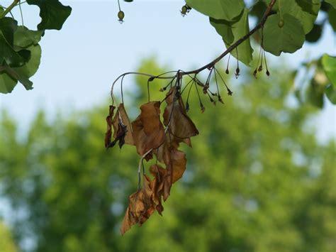 pear tree diseases fire blight on ornamental pear east texas gardening